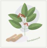 Sandalwood κλάδος δέντρων Στοκ Εικόνες