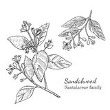 Sandalwood μελανιού συρμένο χέρι σκίτσο Στοκ φωτογραφία με δικαίωμα ελεύθερης χρήσης