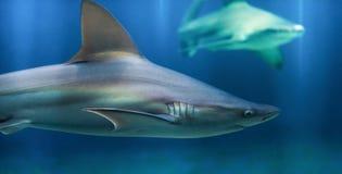 Sandbank-Haifisch stockfoto