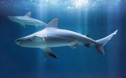 Sandbank-Haifisch stockbilder