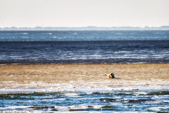 Sandbank with seals Stock Photo