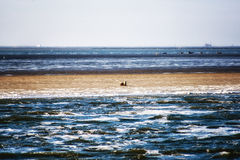 Sandbank with seals Royalty Free Stock Images
