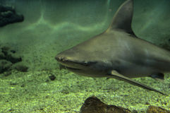 Sandbar shark. Swimming on reef Royalty Free Stock Images