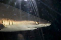 Sandbar shark (Carcharhinus plumbeus). Head of a Sandbar shark stock image
