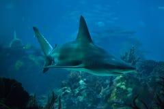Sandbar shark Carcharhinus plumbeus. Also known as the thickskin shark royalty free stock photos