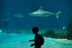 Sandbar shark (Carcharhinus plumbeus). Stock Photos