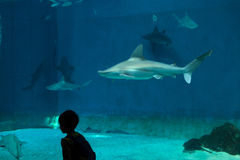 Sandbar shark (Carcharhinus plumbeus). GENOA, ITALY - MARCH 22, 2016: Young visitor observes as sandbar sharks (Carcharhinus plumbeus) swim in the Genoa Royalty Free Stock Images