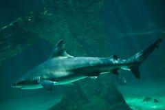 Sandbar shark Carcharhinus plumbeus. Royalty Free Stock Photo