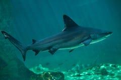 Sandbar shark Carcharhinus plumbeus. Royalty Free Stock Photography