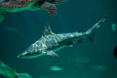 Sandbar shark Carcharhinus plumbeus. Stock Photography
