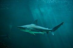 Sandbar shark Carcharhinus plumbeus. Marine fish stock images