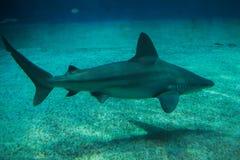 Sandbar shark Carcharhinus plumbeus. Tropical fish royalty free stock photography