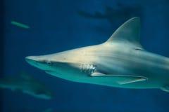 Sandbar shark (Carcharhinus plumbeus). Wild life animal royalty free stock images