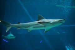Sandbar shark (Carcharhinus plumbeus). Royalty Free Stock Photography