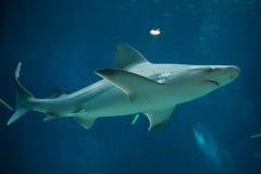 Sandbar shark (Carcharhinus plumbeus). Royalty Free Stock Photos