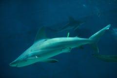 Sandbar shark (Carcharhinus plumbeus). Stock Image