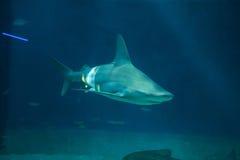 Sandbar shark (Carcharhinus plumbeus). Stock Photo