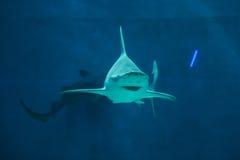 Sandbar shark (Carcharhinus plumbeus). Wild life animal stock photo