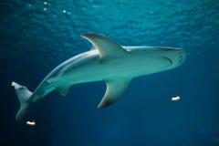 Sandbar shark (Carcharhinus plumbeus). Wild life animal royalty free stock photography