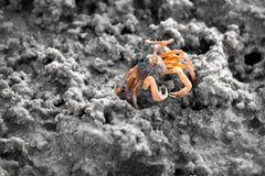 Sandbubblerkrabba på sand under lågvatten royaltyfri bild