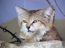 Sandcat. Close up of sandcat stock photo