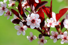 Sandcherry Blossom Royalty Free Stock Photography