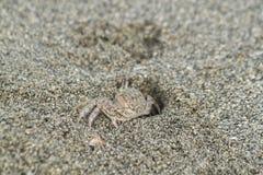 Sandcrab在墨西哥湾附近出去它的在海滩的头 库存照片