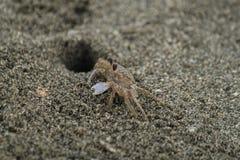 Sandcrab knalt uit zijn hoofd op een strand dichtbij de Golf van Mexico Stock Fotografie