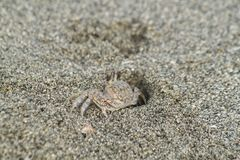 Sandcrab pops out its head on a beach near the Gulf of Mexico. Sand crab resides in the sandy beach of Florida on the Gulf side Stock Photos