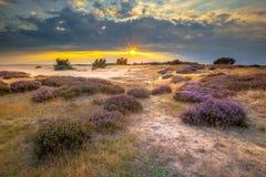 Sanddünen Hoge Veluwe mit Heide stockfoto