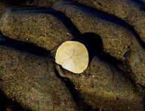 Sanddollar Stockfoto