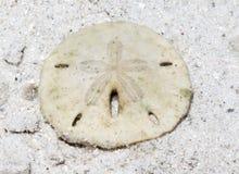 Sanddollar arkivbilder