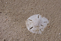 Sanddollar Stock Photo