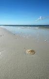 Sanddollar auf Strand Stockbild