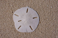 Sanddollar Royalty Free Stock Photo