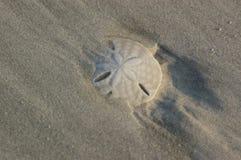 Sanddollar som täckas delvist av sand Royaltyfria Foton