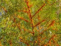 Sanddorn auf dem Baum, Hippophae, Rhamnoide stockbilder