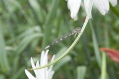 Sanddragon Dragonfly Zdjęcie Stock