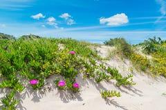 Sanddyn med blommor i Sardinia Arkivfoton