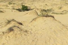 Sanddyn, torrt gräs och en liten buske i bakgrundsramen royaltyfri fotografi