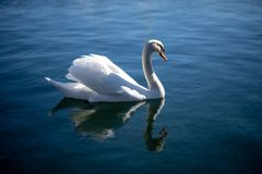 Swan swimming in the ocean royalty free stock image