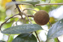 Sandelholzbaum, populäre ayurvedic Anlage stockbild