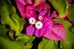 Sanderiana 2 di glabra della buganvillea Fotografia Stock