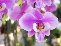 Sanderiana Phalaenopsis Στοκ φωτογραφία με δικαίωμα ελεύθερης χρήσης