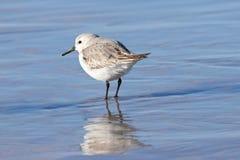 Sanderling зимы Стоковое фото RF