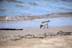 Sanderling на береге Lake Huron стоковое фото rf