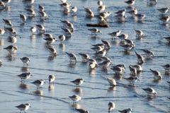 Sanderling на пляже Стоковые Изображения