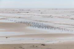 Sanderling на пляже Стоковое Изображение