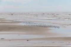 Sanderling на пляже Стоковая Фотография RF