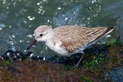 Sanderling Стоковые Фото